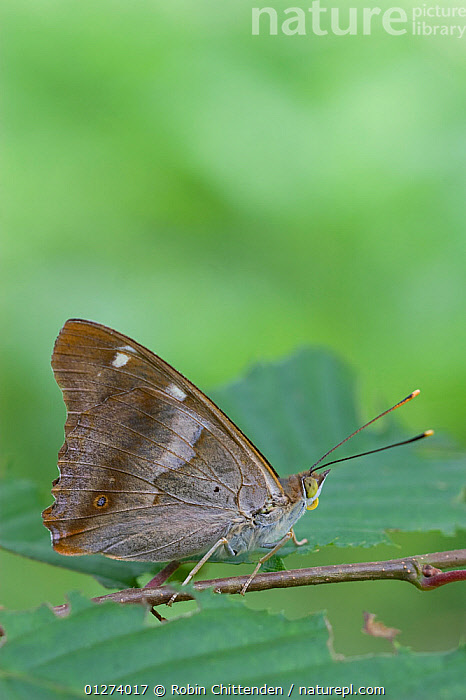 Male Lesser purple emperor butterfly (Apatura iris) on twig, Zemplen Hills, Hungary, July  ,  ARTHROPODS,BUTTERFLIES,EASTERN EUROPE,EUROPE,HUNGARY,INSECTS,INVERTEBRATES,LEPIDOPTERA,MALES,VERTICAL  ,  Robin Chittenden