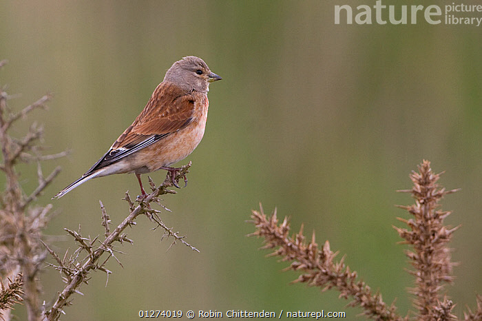 Male Linnet (Carduelis cannabina) perched, Minsmere RSPB, Suffolk, England, May  ,  BIRDS,EUROPE,FINCHES,MALES,UK,VERTEBRATES, United Kingdom  ,  Robin Chittenden