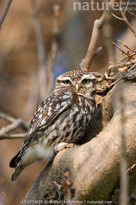 Little owl (Athene noctua) portrait, perched on tree trunk, Norfolk, England, April  ,  BIRDS,BIRDS OF PREY,EUROPE,OWLS,PORTRAITS,UK,VERTEBRATES,VERTICAL, United Kingdom,Raptor  ,  Robin Chittenden