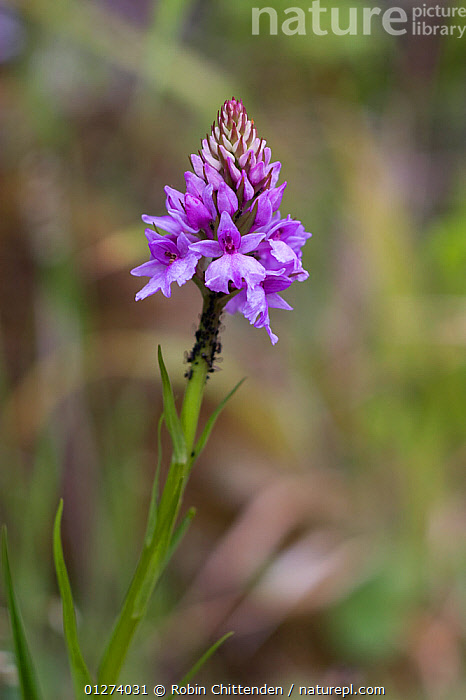 Madeiran orchid (Dactylorhiza foliosa) in flower, Madeira, Portugal, May  ,  EUROPE,FLOWERS,MADEIRA,MONOCOTYLEDONS,ORCHIDACEAE,ORCHIDS,PLANTS,PURPLE,VERTICAL  ,  Robin Chittenden