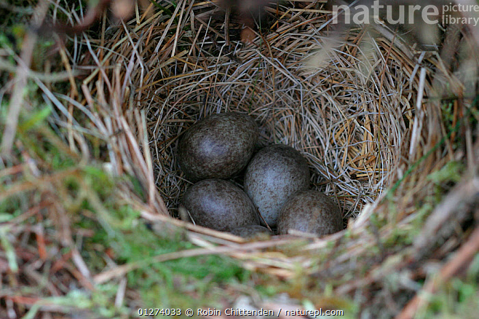 Meadow pipit (Anthus pratensis) eggs in nest, Bankend Rig, Lanarkshire, England, May  ,  BIRDS,EGGS,EUROPE,FOUR,NESTS,PIPITS,UK,VERTEBRATES, United Kingdom  ,  Robin Chittenden