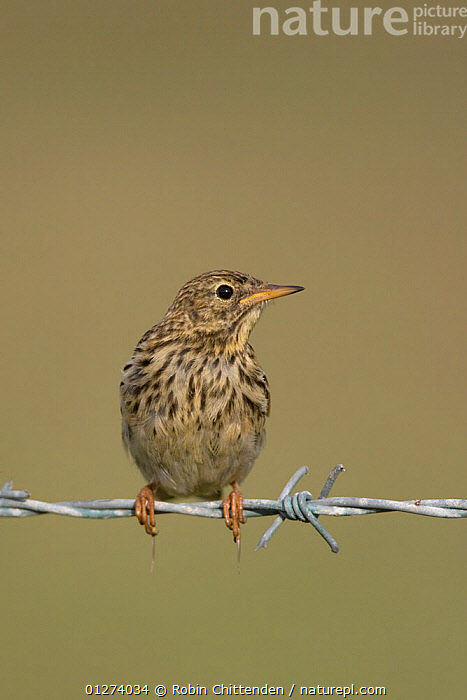 Meadow pipit (Anthus pratensis) perched on barbed wire, Salthouse, Norfolk, England, August  ,  BIRDS,CUTOUT,EUROPE,PIPITS,PORTRAITS,UK,VERTEBRATES,VERTICAL, United Kingdom  ,  Robin Chittenden