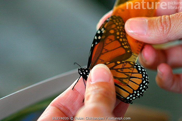 Person measuring Monarch butterfly (Danaus plexippus) wing, New Jersey, USA, September  ,  ARTHROPODS,BUTTERFLIES,DIGITS,FINGERS,HANDS,INSECTS,INVERTEBRATES,LEPIDOPTERA,NORTH AMERICA,TAGS,USA,WINGS  ,  Robin Chittenden