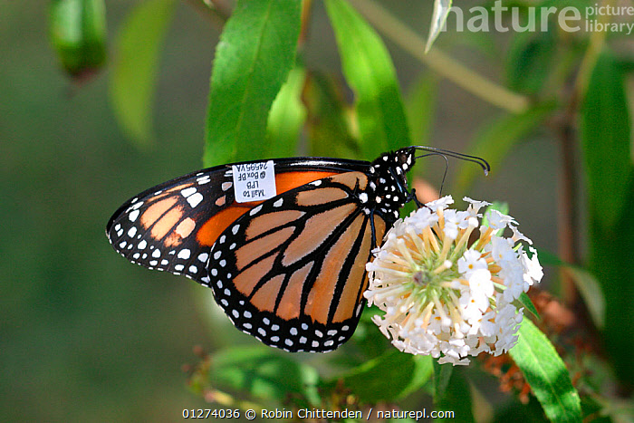 Monarch butterfly (Danaus plexippus) on flower with tag on wing, New Jersey, USA, September  ,  ARTHROPODS,BUTTERFLIES,FLOWERS,INSECTS,INVERTEBRATES,LEPIDOPTERA,NORTH AMERICA,RESEARCH,TAGS,USA,WINGS  ,  Robin Chittenden