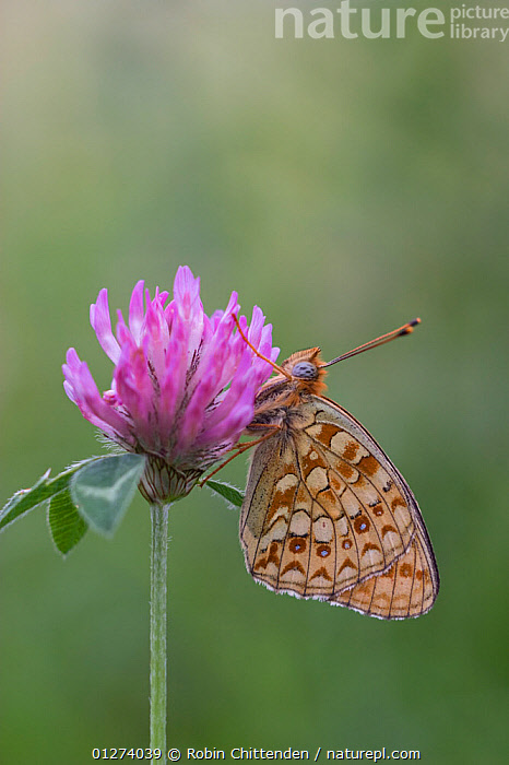 Niobe fritillary butterfly (Argynnis niobe) on Clover (Trifolium sp) flower, Pyrenees, France, July  ,  BUTTERFLIES,DICOTYLEDONS,EUROPE,FABACEAE,FLOWERS,FRANCE,INSECTS,INVERTEBRATES,LEGUME,LEPIDOPTERA,PLANTS,VERTICAL  ,  Robin Chittenden