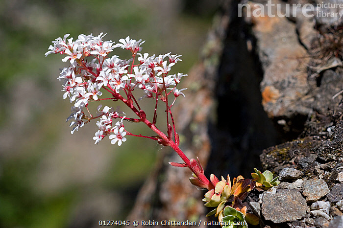 Paniculate saxifrage (Saxifraga paniculata) in flower, Pyrenees, France, July  ,  DICOTYLEDONS,EUROPE,FLOWERS,FRANCE,PLANTS,SAXIFRAGACEAE  ,  Robin Chittenden