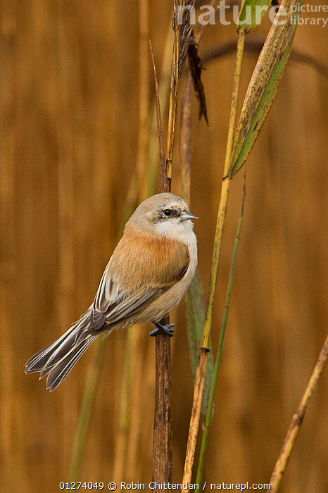 Penduline tit (Remiz pendulinus) on reeds, Dingle Marshes, Suffolk, England, November  ,  BIRDS,EUROPE,MARSHES,REEDS,TITS,UK,VERTEBRATES,VERTICAL,WETLANDS, United Kingdom  ,  Robin Chittenden