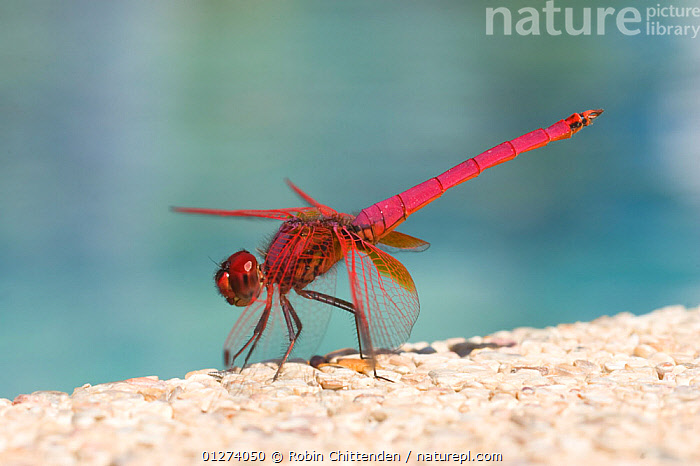 Male Purple dropwing dragonfly (Trithemis annulata) Phuket, Thailand, February  ,  ASIA,DRAGONFLIES,INSECTS,INVERTEBRATES,MALES,ODONATA,PINK,RED,THAILAND  ,  Robin Chittenden