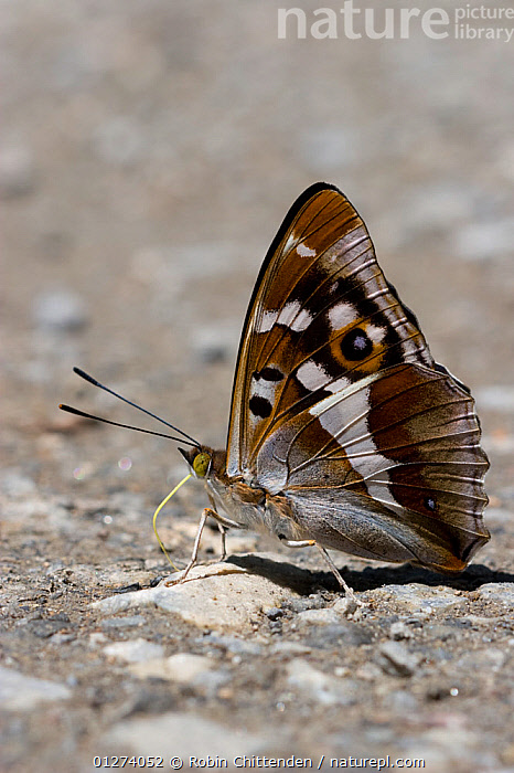 Male Purple emperor (Apatura iris) on ground, Pyrenees, France, July  ,  ARTHROPODS,BUTTERFLIES,EUROPE,FRANCE,INSECTS,INVERTEBRATES,LEPIDOPTERA,MALES,VERTICAL  ,  Robin Chittenden