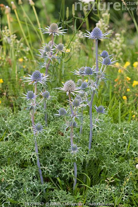 Pyrenean eryngo (Eryngium bourgatii) in flower, Pyrenees, France, July  ,  APIACEAE,DICOTYLEDONS,EUROPE,FLOWERS,FRANCE,PLANTS,UMBELLIFERAE,VERTICAL  ,  Robin Chittenden