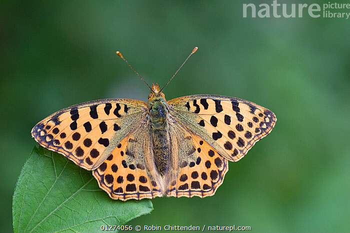 Queen of Spain fritillary butterfly (Issoria lathonia) on leaf, Zemplen Hills, Hungary, July  ,  ARTHROPODS, BUTTERFLIES, EASTERN-EUROPE, EUROPE, HUNGARY, INSECTS, INVERTEBRATES, LEPIDOPTERA, SPOTS, WINGS  ,  Robin Chittenden