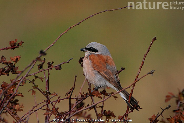 Male Red backed shrike (Lanius collurio) Suffolk, England, October  ,  BIRDS,EUROPE,MALES,SHRIKES,UK,VERTEBRATES, United Kingdom  ,  Robin Chittenden
