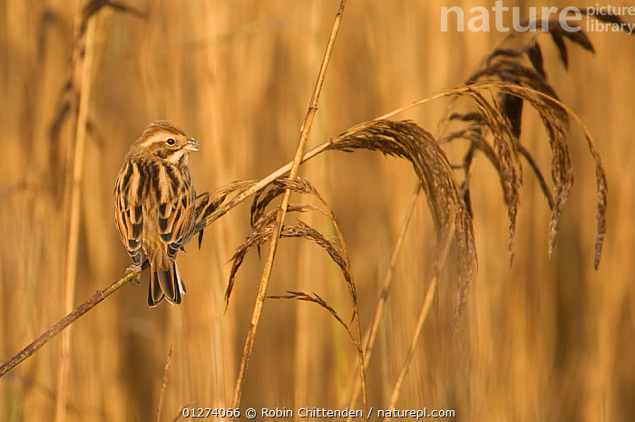 Female Reed bunting (Emeriza schoeniclus) perched on reed, Dingle Marshes, Suffolk, England, November  ,  BIRDS,BUNTINGS,EUROPE,FEMALES,MARSHES,REEDS,UK,VERTEBRATES,WETLANDS, United Kingdom  ,  Robin Chittenden