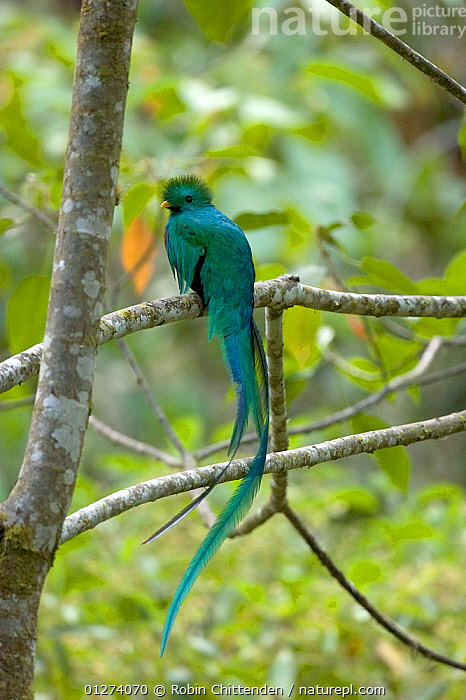 Male Resplendent quetzal (Pharomachrus mocinno) perched on branch, Savegre Mountain Lodge, Costa Rica, February  ,  BIRDS,CENTRAL AMERICA,COSTA RICA,GREEN,MALES,QUETZALS,TAILS,VERTEBRATES,VERTICAL  ,  Robin Chittenden