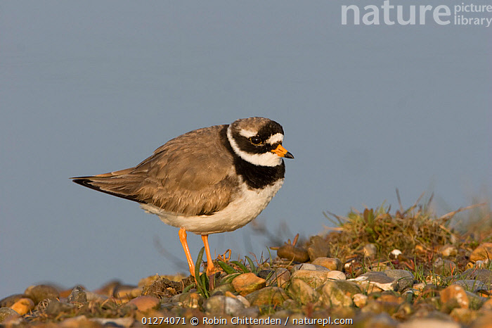 Male Ringed plover (Charadrius hiaticula) Salthouse, Norfolk, England, May  ,  BIRDS,EUROPE,MALES,PLOVERS,UK,VERTEBRATES,WADERS, United Kingdom  ,  Robin Chittenden