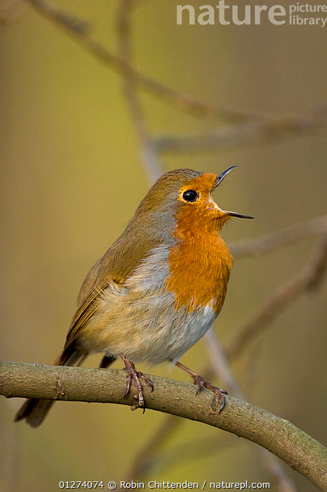 Male Robin (Erithacus rubecula) perched on branch singing, Norfolk, England, March  ,  BIRDS,CHATS,EUROPE,MALES,UK,VERTEBRATES,VERTICAL,VOCALISATION, United Kingdom  ,  Robin Chittenden