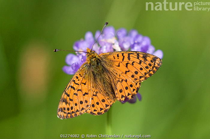 Shepherd's fritillary butterfly (Boloria pales) on flower, Pyrenees, France, July  ,  BUTTERFLIES,EUROPE,FLOWERS,FRANCE,INSECTS,INVERTEBRATES,LEPIDOPTERA,ORANGE  ,  Robin Chittenden