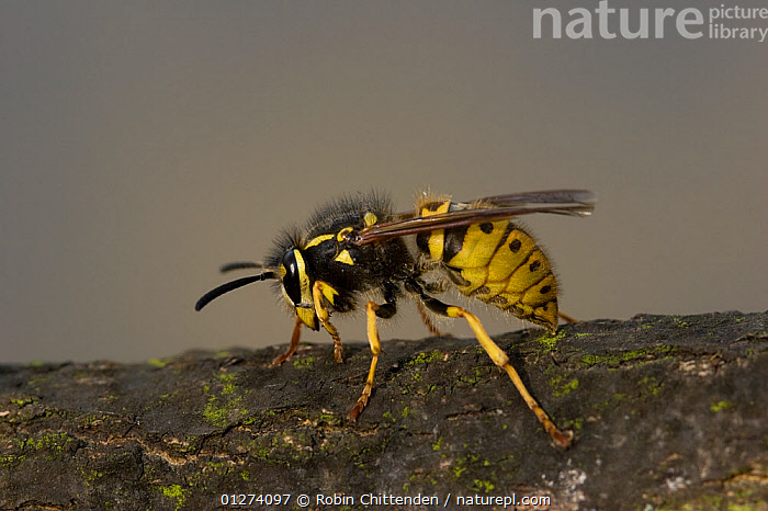 Common wasp (Vespula vulgaris) queen, Stiffkey, Norfolk, England, May  ,  EUROPE,FEMALES,HYMENOPTERA,INSECTS,INVERTEBRATES,UK,WASPS, United Kingdom  ,  Robin Chittenden