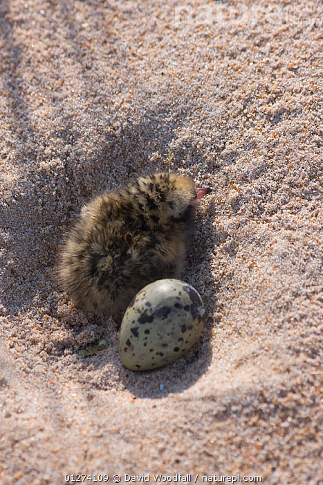 Newly hatched Arctic tern (Sterna paradisaea) chick with unhatched egg in nest, Northumberland, UK  ,  BABIES,BIRDS,CHICKS,EGGS,EUROPE,HIGH ANGLE SHOT,NESTS,SEABIRDS,TERNS,UK,VERTEBRATES,VERTICAL, United Kingdom  ,  David Woodfall