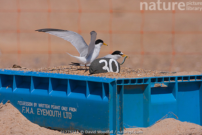 Little tern (Sternula albifrons) pair, one taking off, the other feeding in marked scrape nest on raised fish boxes to prevent flooding by rising sea levels, Northumberland, UK  ,  BIRDS, CONSERVATION, EUROPE, FEEDING, MALE-FEMALE-PAIR, NESTS, SEABIRDS, TAKE-OFF, TERNS, UK, VERTEBRATES, WINGS,ENGLAND,United Kingdom  ,  David Woodfall
