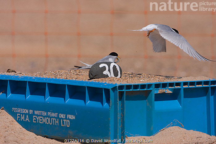 Little tern (Sternula albifrons) pair, one in flight, the other feeding, in marked nest on raised fish box to prevent flooding by rising sea levels, Northumberland, UK  ,  BIRDS, CONSERVATION, EUROPE, FEEDING, FLYING, MALE-FEMALE-PAIR, NESTS, SEABIRDS, TERNS, UK, VERTEBRATES,ENGLAND,United Kingdom  ,  David Woodfall