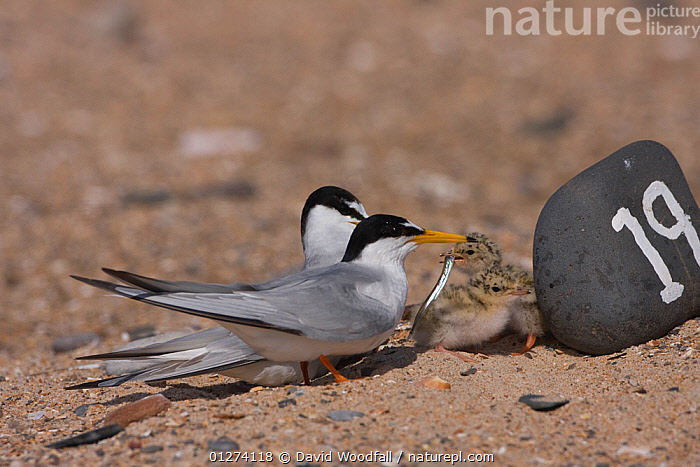 Little tern (Sternula albifrons) pair at marked scrape nest with young feeding, Northumberland, UK  ,  BABIES, BIRDS, CHICKS, CONSERVATION, EUROPE, FAMILIES, FEEDING, NESTS, SEABIRDS, TERNS, UK, VERTEBRATES,United Kingdom  ,  David Woodfall