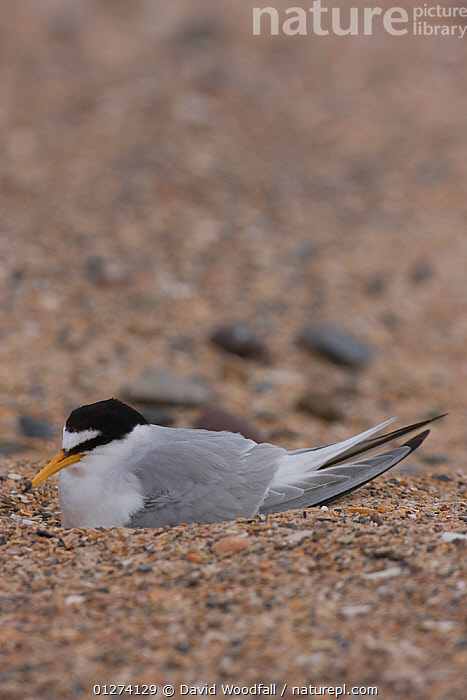 Little tern (Sternula albifrons) on scrape nest, Northumberland, UK  ,  BIRDS, EUROPE, NESTS, PORTRAITS, SEABIRDS, TERNS, UK, VERTEBRATES, VERTICAL,United Kingdom  ,  David Woodfall