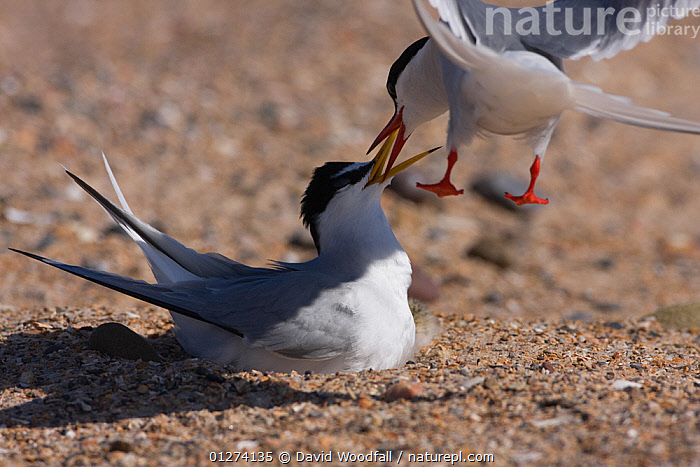 Arctic tern (Sterna paradisaea) in flight and Little tern (Sterna albifrons) on nest fighting, the Little terns having invaded the Arctic terns breeding space, Northumberland, UK  ,  ACTION,BEHAVIOUR,BIRDS,COMPETITION,EUROPE,FIGHTING,FLYING,MIXED SPECIES,SEABIRDS,TERNS,UK,VERTEBRATES,Aggression, United Kingdom  ,  David Woodfall
