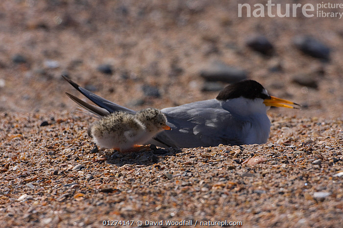 Little tern (Sternula albifrons) with newly hatched chick, Northumberland, UK  ,  BABIES, BIRDS, CHICKS, EUROPE, NESTS, SEABIRDS, TERNS, UK, VERTEBRATES,United Kingdom  ,  David Woodfall