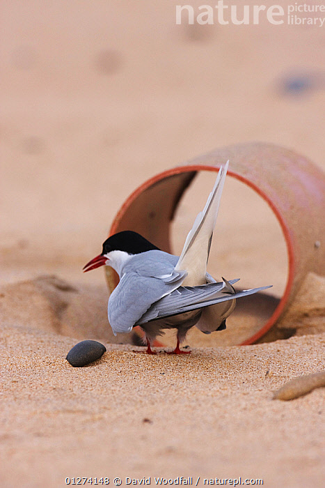 Rear view of an Arctic tern (Sterna paradisaea) by drainage pipe providing cover from aerial predators, Northumberland, UK  ,  BIRDS,CONSERVATION,EUROPE,SEABIRDS,TERNS,UK,VERTEBRATES,VERTICAL, United Kingdom  ,  David Woodfall