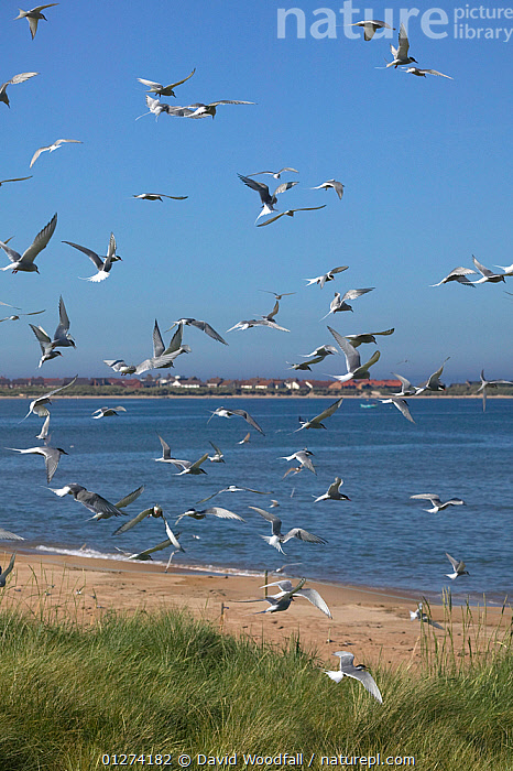 Arctic terns (Sterna paradisaea) in flight due to predator presence, Northumberland, UK, June 2009  ,  BEACHES,BIRDS,COASTS,EUROPE,FLOCKS,FLYING,GROUPS,LANDSCAPES,SEABIRDS,TERNS,UK,VERTEBRATES,VERTICAL,ENGLAND, United Kingdom  ,  David Woodfall