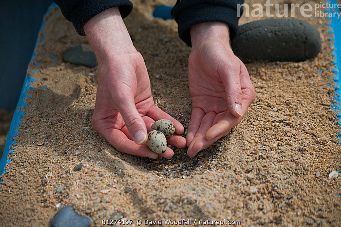 National Trust conservation warden relocating Little tern (Sternula albifrons) eggs in to new scrape on fish box to protect from rising tides, Northumberland, UK, June 2009  ,  BIRDS, CONSERVATION, EGGS, EUROPE, HANDS, NESTS, PEOPLE, SEABIRDS, TERNS, UK, VERTEBRATES,United Kingdom  ,  David Woodfall