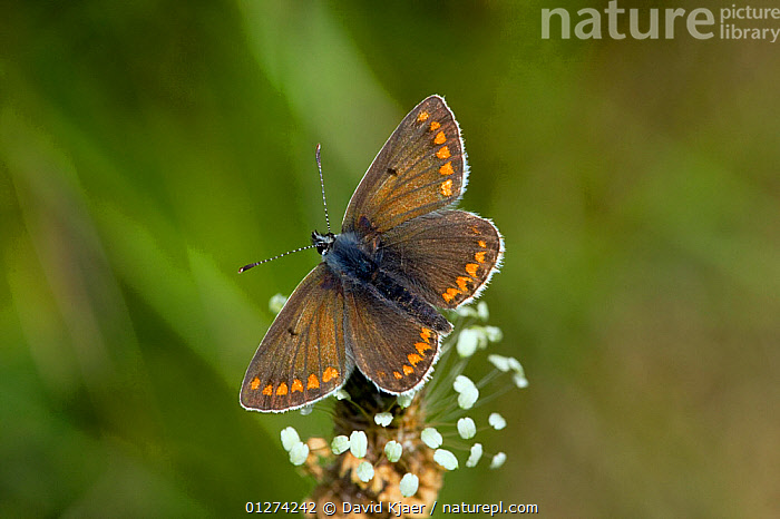 Brown argus butterfly (Aricia agestis) on flower head, Wiltshire, England, May  ,  ARTHROPODS,BROWN,BUTTERFLIES,EUROPE,FLOWERS,INSECTS,INVERTEBRATES,LEPIDOPTERA,UK,WINGS, United Kingdom  ,  David Kjaer