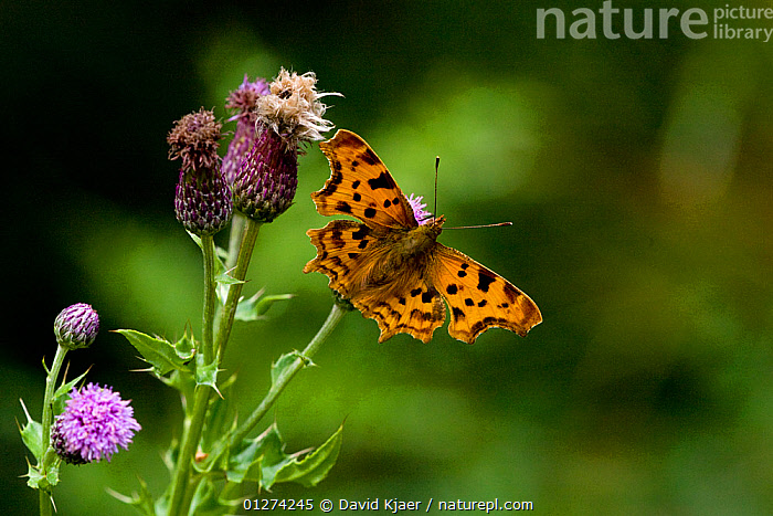 Comma butterfly (Polygonia c-album) on thistle, Wiltshire, UK, July  ,  ARTHROPODS,BUTTERFLIES,EUROPE,FLOWERS,INSECTS,INVERTEBRATES,LEPIDOPTERA,THISTLES,UK,WINGS, United Kingdom  ,  David Kjaer