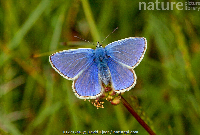 Male Common blue butterfly (Polyommatus icarus) Dorset, England, May  ,  ARTHROPODS,BLUE,BUTTERFLIES,EUROPE,INSECTS,INVERTEBRATES,LEPIDOPTERA,MALES,UK,WINGS, United Kingdom  ,  David Kjaer