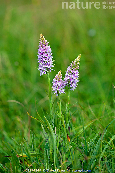 Common spotted orchids (Dactylorhiza fuchsii) in flower, Hampshire, England, June  ,  EUROPE,FLOWERS,MONOCOTYLEDONS,ORCHIDACEAE,ORCHIDS,PLANTS,PURPLE,THREE,UK,VERTICAL, United Kingdom  ,  David Kjaer