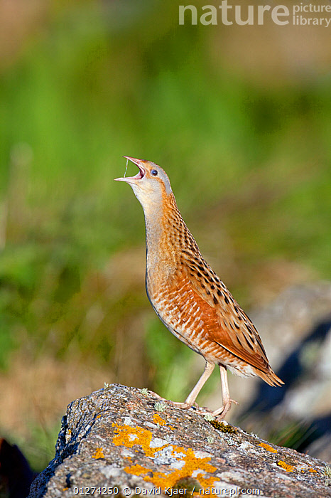 Corncrake (Crex crex) on rock calling, North Uist, Outer Hebrides, Scotland, May  ,  BEHAVIOUR,BIRDS,CRAKES,EUROPE,ROCKS,UK,VERTEBRATES,VERTICAL,VOCALISATION,WATERFOWL, United Kingdom  ,  David Kjaer
