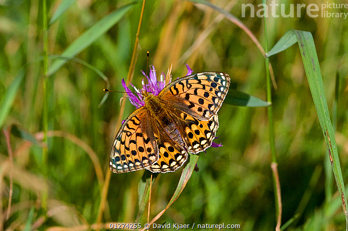 Female Dark green fritillary (Argynnis aglaja) Dorset, England, August  ,  ARTHROPODS,BUTTERFLIES,EUROPE,FEMALES,INSECTS,INVERTEBRATES,LEPIDOPTERA,MESOACIDALIA AGLAIA,SPOTS,UK,WINGS, United Kingdom  ,  David Kjaer