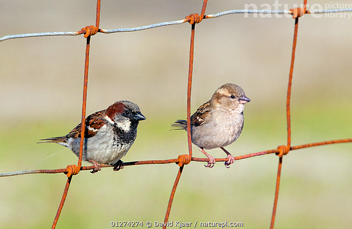 House sparrow (Passer domesticus) male and female perched on wire fence, North Uist, Outer Hebrides, Scotland, May  ,  BIRDS,EUROPE,FEMALES,HOUSE SPARROW,MALES,SPARROWS,UK,VERTEBRATES, United Kingdom  ,  David Kjaer