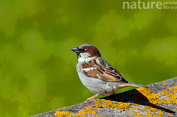 Male House sparrow (Passer domesticus) North Uist, Outer Hebrides, Scotland, May  ,  BIRDS,EUROPE,HOUSE SPARROW,MALES,SPARROWS,UK,VERTEBRATES, United Kingdom  ,  David Kjaer