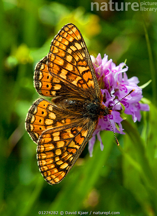 Marsh fritillary butterfly (Euphydryas aurinia) on flower, Hod Hill, Dorset, England, May  ,  ARTHROPODS,BUTTERFLIES,EUROPE,FLOWERS,INSECTS,INVERTEBRATES,LEPIDOPTERA,PATTERNS,UK,VERTICAL,WINGS, United Kingdom  ,  David Kjaer