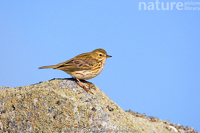 Meadow pipit (Anthus pratensis) on rock, Deeside, Scotland, April  ,  BIRDS,EUROPE,PIPITS,ROCKS,UK,VERTEBRATES, United Kingdom  ,  David Kjaer