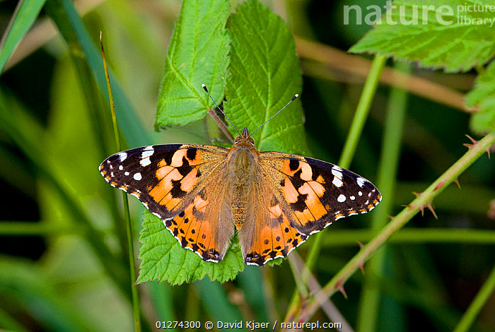 Painted lady butterfly (Vanessa cardui) on bramble, Dorset, England, April, July  ,  ARTHROPODS, BUTTERFLIES, EUROPE, INSECTS, INVERTEBRATES, LEPIDOPTERA, UK, WINGS,United Kingdom  ,  David Kjaer