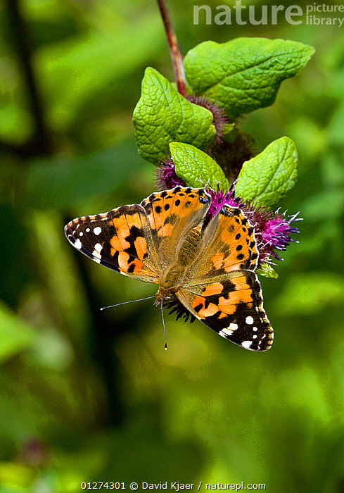 Painted lady butterfly (Vanessa cardui) Wiltshire, England, July  ,  ARTHROPODS, BUTTERFLIES, EUROPE, INSECTS, INVERTEBRATES, LEPIDOPTERA, UK, VERTICAL, WINGS,United Kingdom  ,  David Kjaer