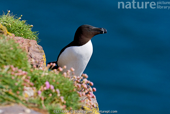 Razorbill (Alca torda) on cliff top, Fowlsheugh, Scotland, April  ,  AUKS,BIRDS,CLIFFS,EUROPE,FLOWERS,SEABIRDS,UK,VERTEBRATES,Geology, United Kingdom  ,  David Kjaer