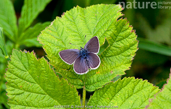 Male Small blue butterfly (Cupido minimus) on leaf, Hodd Hill, Dorset, England, May  ,  ARTHROPODS,BUTTERFLIES,EUROPE,INSECTS,INVERTEBRATES,LEAVES,LEPIDOPTERA,LITTLE BLUE,MALES,UK,WINGS, United Kingdom  ,  David Kjaer
