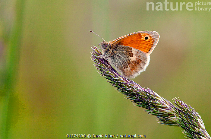Small heath butterfly (Coenonympha pamphilus) on grass seed head, underside of wing showing, Dorset, England, May  ,  ARTHROPODS,BUTTERFLIES,EUROPE,GRASSES,INSECTS,INVERTEBRATES,LEPIDOPTERA,UK,WINGS, United Kingdom  ,  David Kjaer