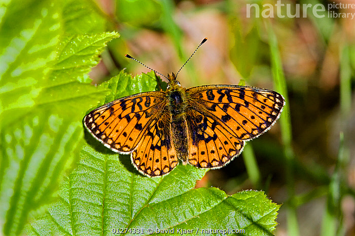 Small pearl bordered fritillary butterfly (Boloria selene) Bentley Wood, Wiltshire, England, May  ,  ARTHROPODS, BUTTERFLIES, EUROPE, INSECTS, INVERTEBRATES, LEAVES, LEPIDOPTERA, UK, WINGS,United Kingdom  ,  David Kjaer