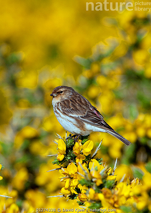 Male Twite (Carduelis flavirostris) perched on gorse, North Uist, Outer Hebrides, Scotland, May  ,  BIRDS,DICOTYLEDONS,EUROPE,FABACEAE,FINCHES,FLOWERS,LEGUME,MALES,PLANTS,UK,VERTEBRATES,VERTICAL,YELLOW, United Kingdom  ,  David Kjaer