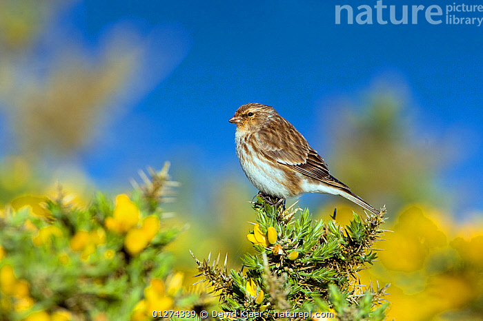 Male Twite (Carduelis flavirostris) perched on gorse, North Uist, Outer Hebrides, Scotland, May  ,  BIRDS,DICOTYLEDONS,EUROPE,FABACEAE,FINCHES,FLOWERS,LEGUME,MALES,PLANTS,UK,VERTEBRATES,YELLOW, United Kingdom  ,  David Kjaer